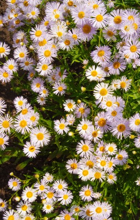violet camomile Stock Photo - 7407388