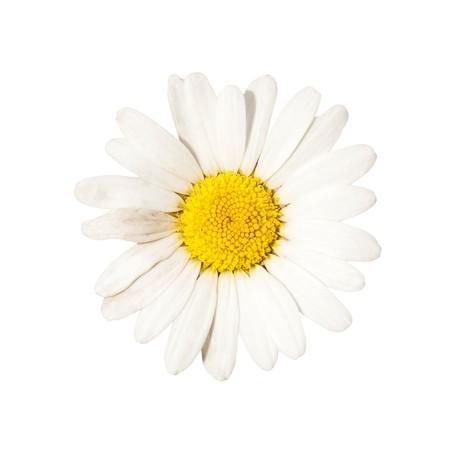beautiful white camomile, outdoor, nature photo