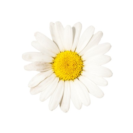 beautiful white camomile, outdoor, nature Stock Photo - 7496961
