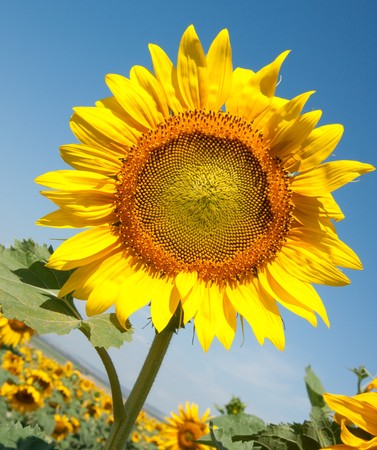 yellow sunflower on blue sky photo