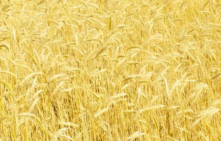 field of rye Stock Photo - 7653063