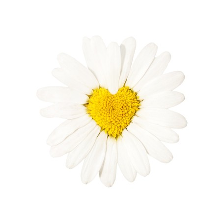 white camomile, form of heart photo
