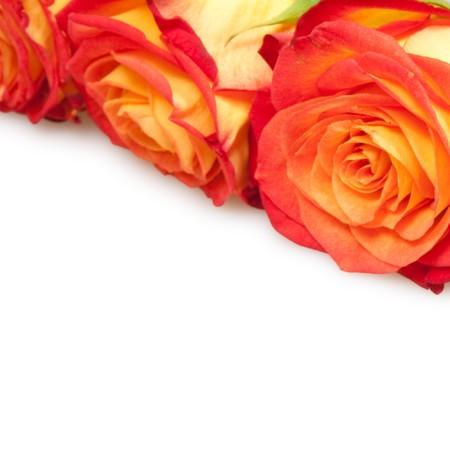 beautiful roses isolated on white