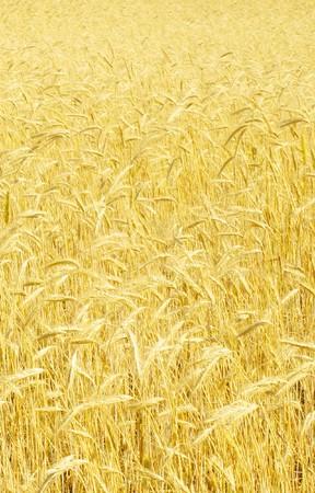 field of rye Stock Photo - 7829171