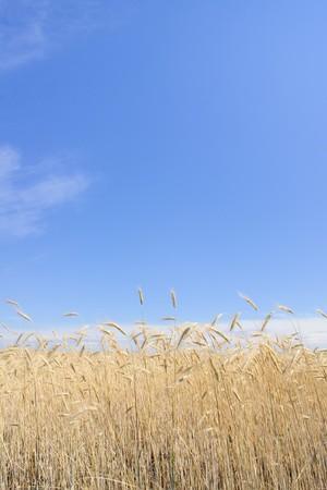 field of rye Stock Photo - 7829174