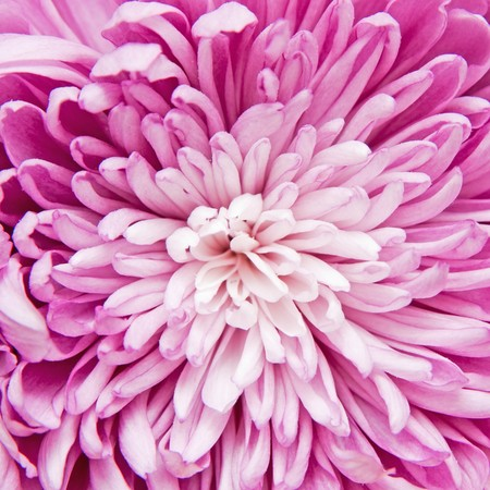 chrysanthemum photo