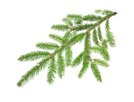 green banch of fir isolated on white Stok Fotoğraf - 8087268