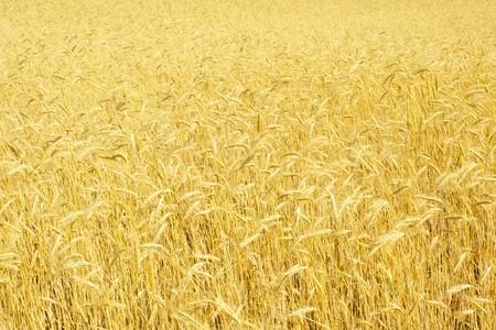 field of rye Stock Photo - 8087570