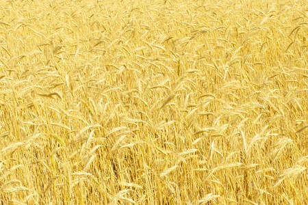 field of rye Stock Photo - 8178904