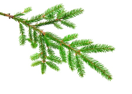 pine spruce: green banch of fir isolated on white Stock Photo