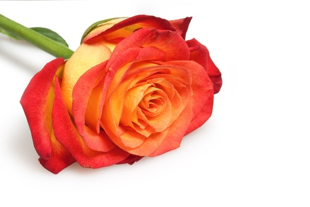 rose Stock Photo - 8340982