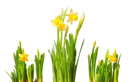 lent: lent lily (daffodil) isolated on white