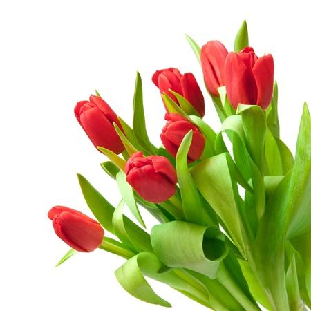 rode tulpen geïsoleerd op wit Stockfoto