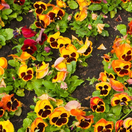 viola tricolor pansy, flowerbed photo