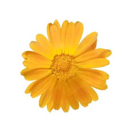 marigold: marigold isolated on white Stock Photo