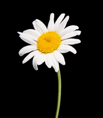white camomile isolated on black Stock Photo - 9130186