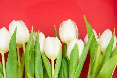 mothers group: white tulips on red Stock Photo