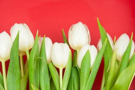 white tulips on red Stok Fotoğraf - 9218945