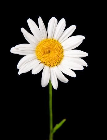white camomile isolated on black Stock Photo - 9218836