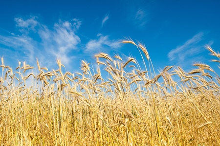 field of rye Stock Photo - 9218948