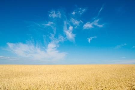 secale: field of rye