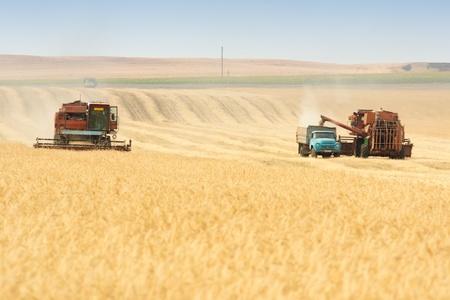 agriculture industry: grain harvester combine work in field