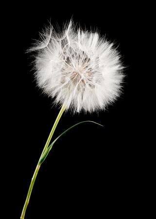 white dandelion isolated on black Standard-Bild