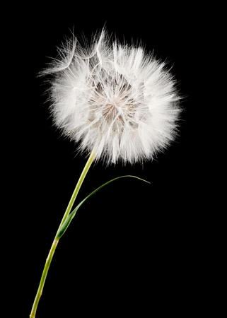white dandelion isolated on black photo