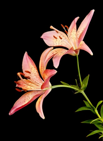 lily isolated on black Stock Photo - 9342353