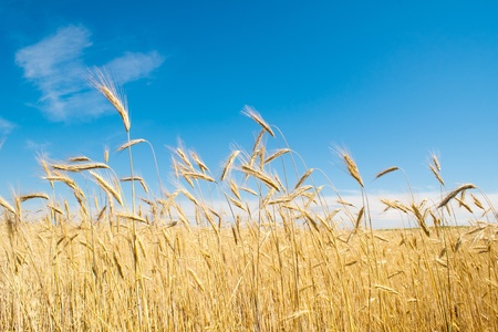 field of rye Stock Photo - 9342268