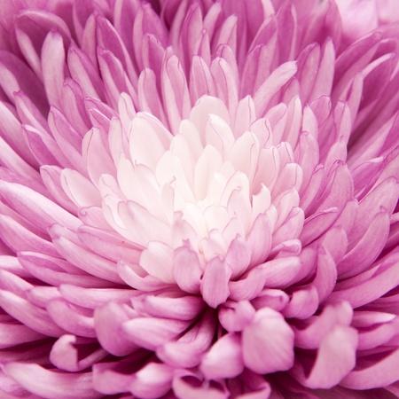 chrysanthemum Stok Fotoğraf