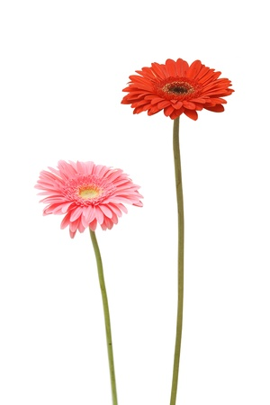 two gebera (african daisy) isolated on white photo