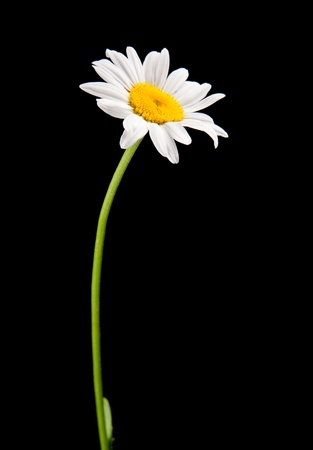 white camomile isolated on black Stock Photo - 9460096