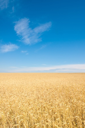 field of rye photo