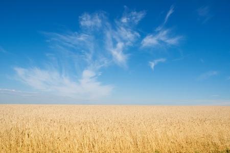 field of rye, blue sky Stock Photo - 9983312