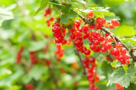 currants: redcurrant on the bush, outdoors