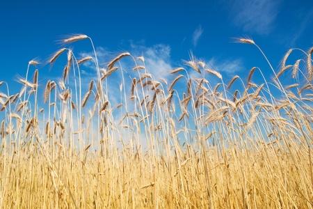 field of rye, blue sky photo