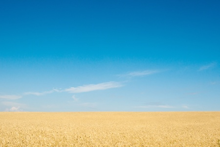 field of rye Stock Photo - 9983407