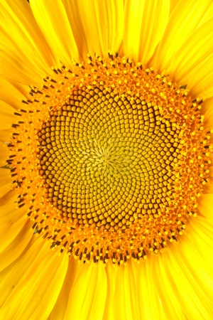 yellow sunflower Stock Photo - 9983403