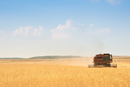 grain fields: grain harvester combine work in field