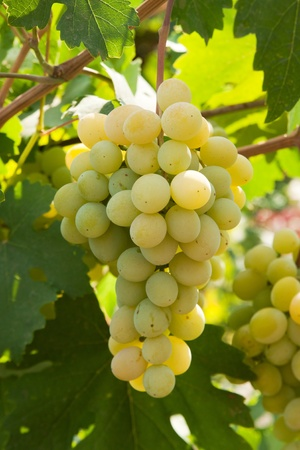 bunch of grapes Stock Photo - 9983406