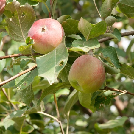 two apples on the tree photo