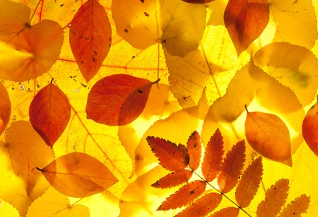 pile of leaves: yellow and red leaves background