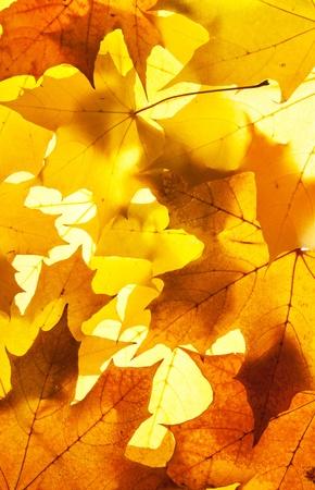 in september: maple leaves - background Stock Photo