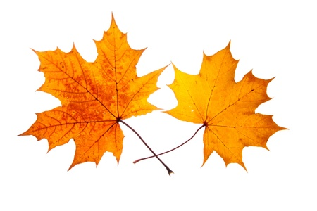 two maple leaves isolated on white photo