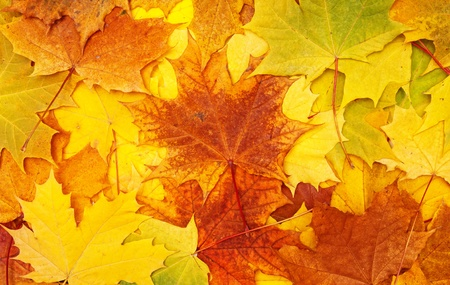 maple leaves - background Stock Photo