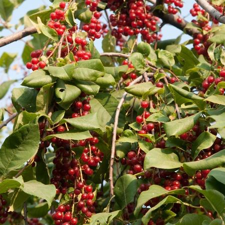 bunchy: red Viburnum