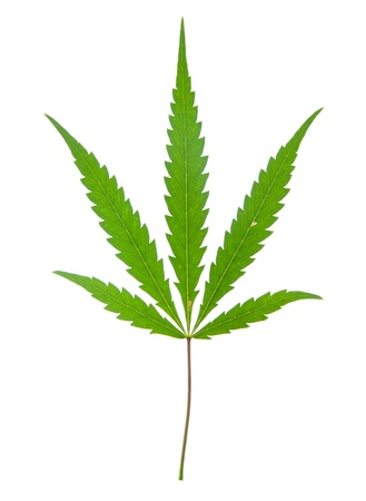 leaf of hemp isolated on white Stock Photo - 10694460