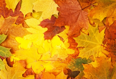 pile of leaves: maple leaves - background Stock Photo