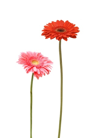 two gebera  african daisy  isolated on white  photo